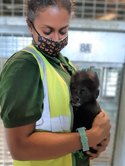 Infant gorilla with keeper at Bristol Zo