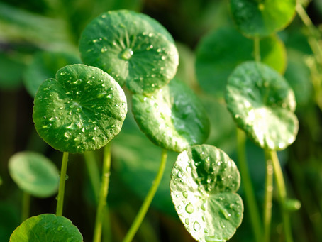 Benefits of Centella Cica on Acne and Sensitive Skin