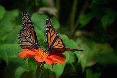 Pair of Monarchs