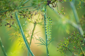 Life in the dill