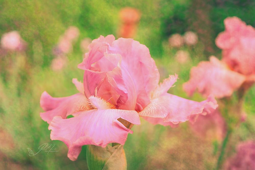 Iris in a garden of flowers