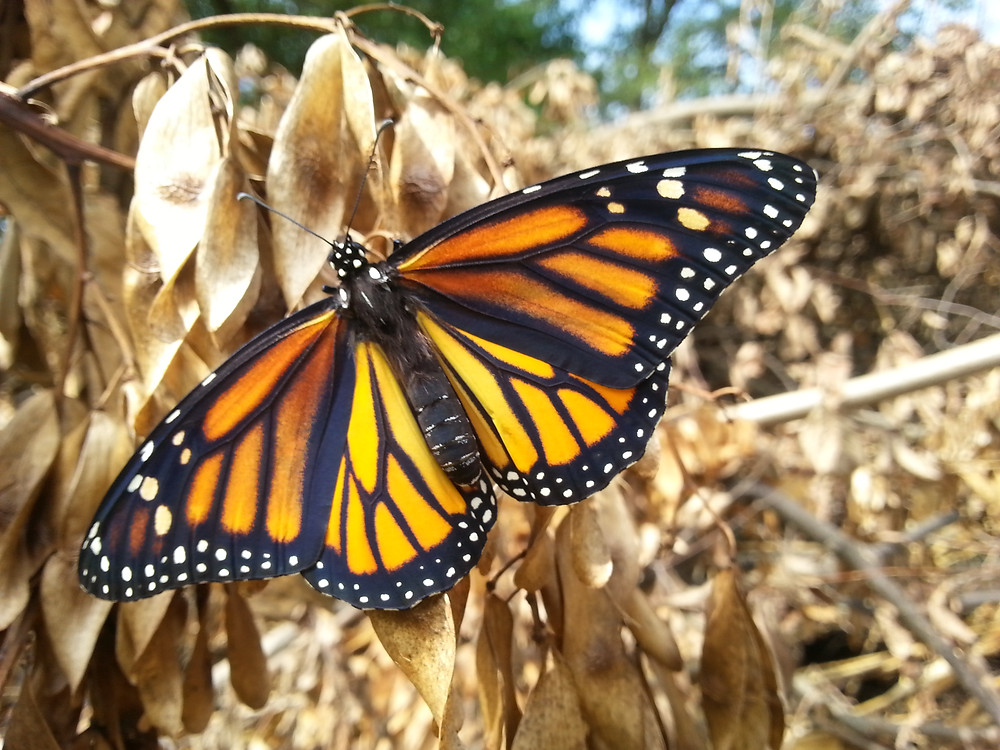 Monarch butterfly on dried foliage