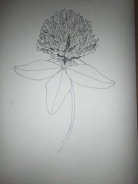 Red clover sketch.jpg