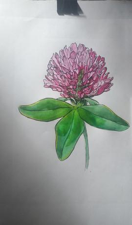 Red clover watercolor.jpg