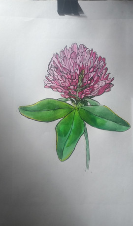 Red clover watercolor.jpg