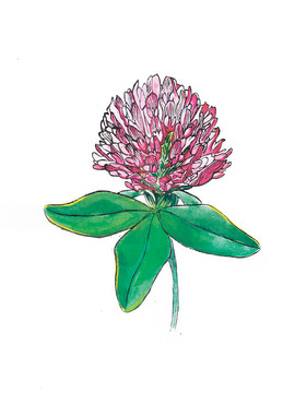 Red Clover by Irina Isaeva from Nirina_s