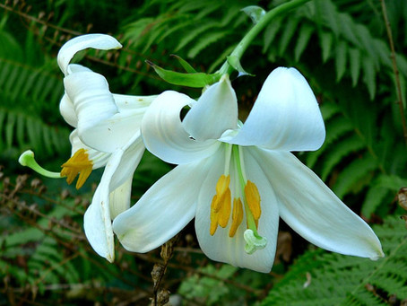 The Gift of Lilies