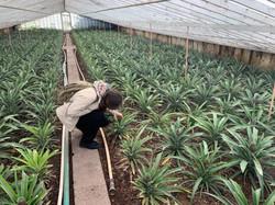 Pineapples A Arruda