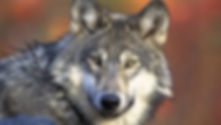 Wolves and the ecology of fear image.jpg