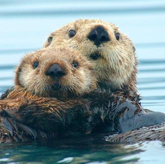 Otters v Climate Change