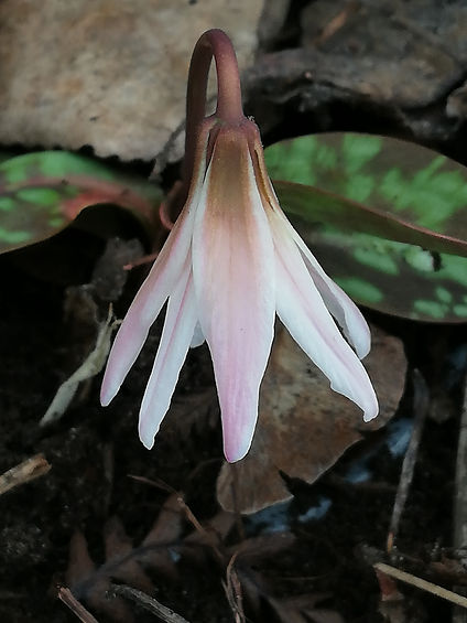 Erythronium dens-canis 'Snowflake'.jpg