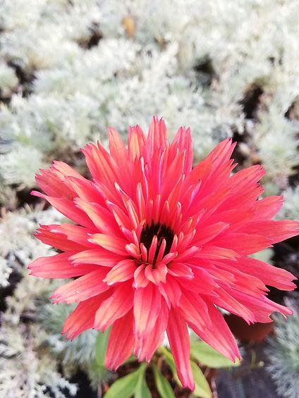 Echinacea 'SunSeekers Rainbow'.jpg
