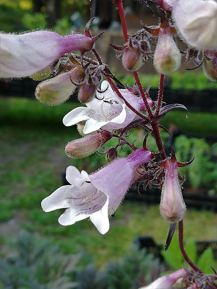Penstemon 'Dark Towers'.jpg