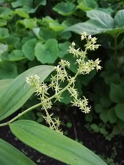 Maianthemum tatsienense.jpg