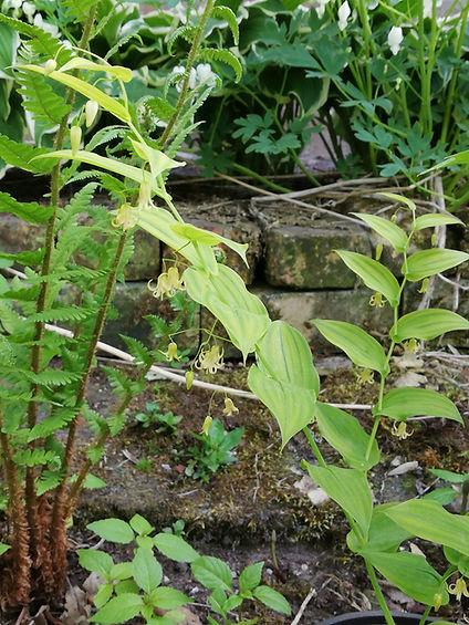 Streptopus amplexifolius.jpg