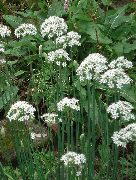 Allium tuberosum.jpg