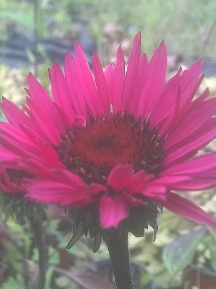 Echinacea 'Fatal Attraction'.jpg