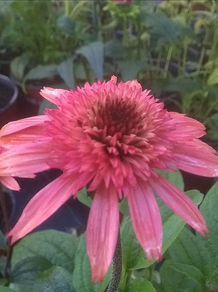 Echinacea 'Raspberry Truffle'.jpg