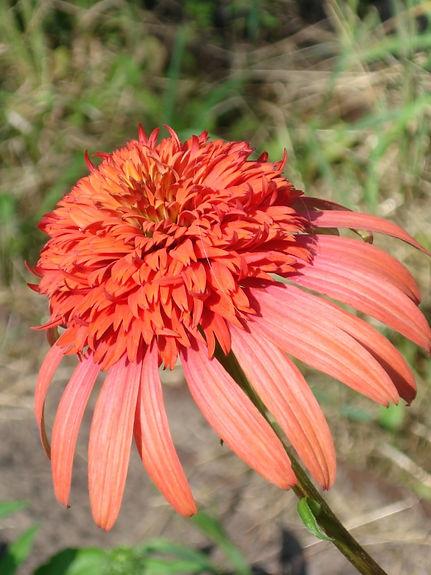 Echinacea 'Irresistible'.jpg