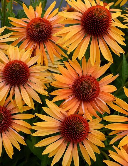Echinacea 'Big Kahuna'.jpg