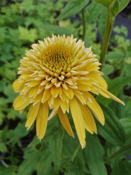 Echinacea 'Eccentric Yellow'.jpg