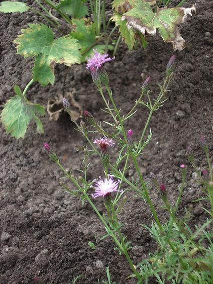 Serratula tinctoria subsp. seoanei.jpg