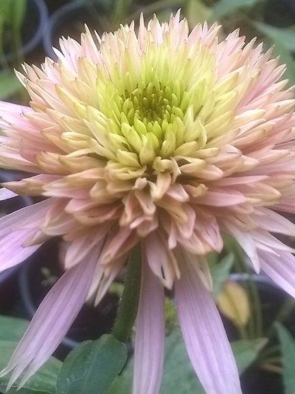 Echinacea 'Cherry Fluff'.jpg