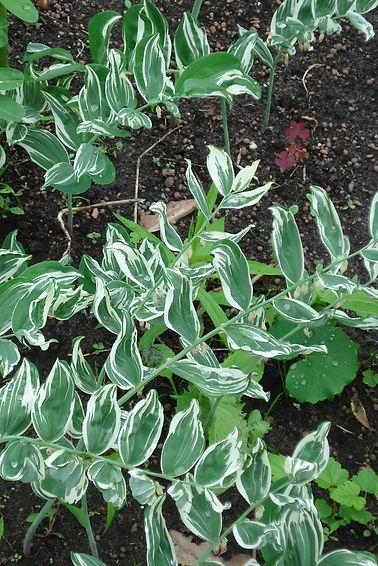 Polygonatum × hybridum 'Striatum'.JPG