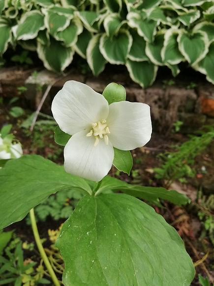 Trillium flexipes.jpg