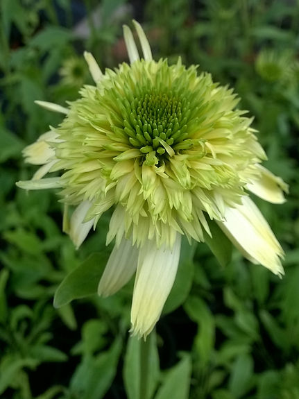 Echinacea 'Honeydew'.jpg