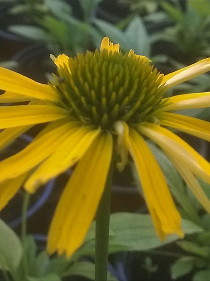 Echinacea 'SunSeekers Yellow'.jpg