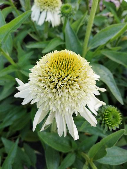 Echinacea 'Delicious Nougat'.jpg