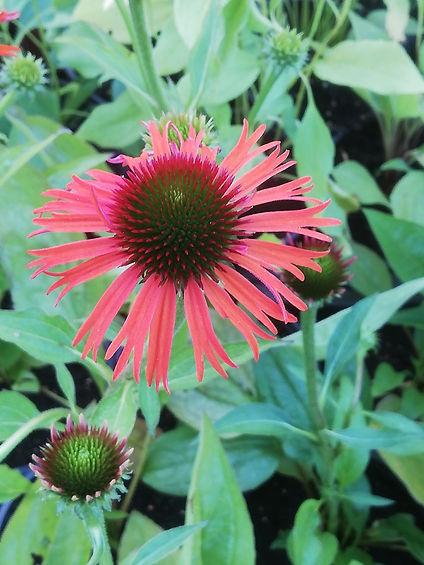 Echinacea 'Orange Skipper'.jpg
