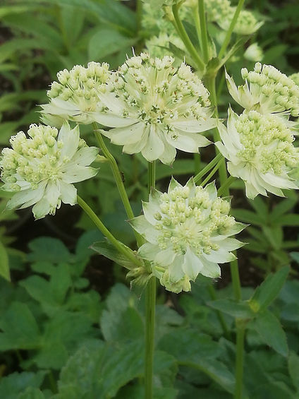 Astrantia 'White Angel'.jpg