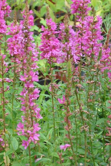 Lythrum salicaria 'Robin'.jpg