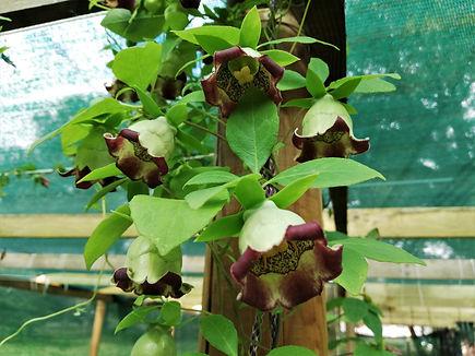 Codonopsis lanceolata.jpg