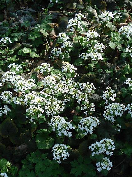 Thlaspi macrophyllum.JPG
