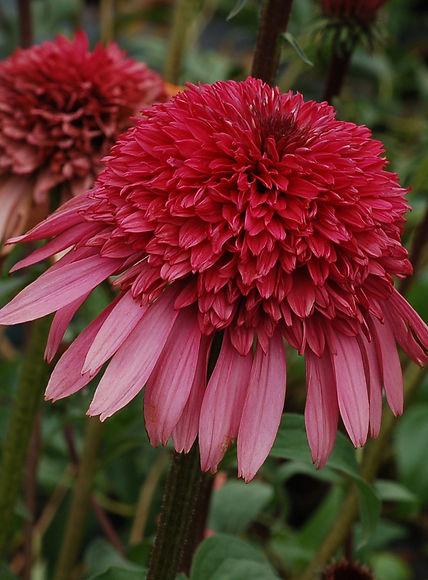 Echinacea purp. 'Supreme Elegance'.jpg