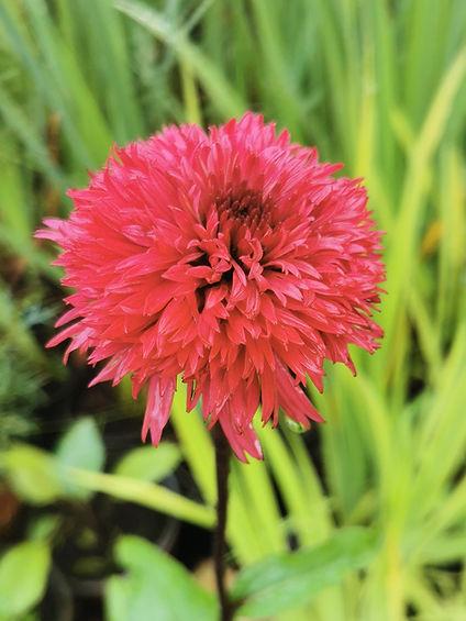 Echinacea 'Blackberry Truffle'.jpg