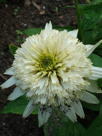 Echinacea 'Meringue'.jpg