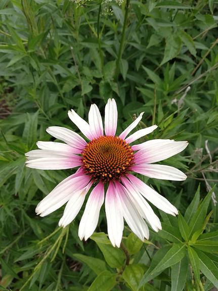 Echinacea 'Funky White'.jpg