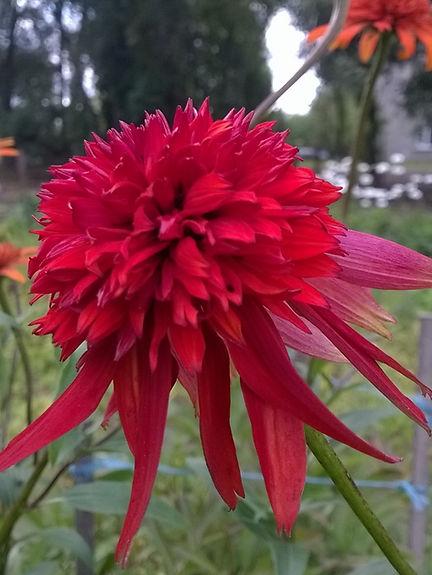 Echinacea 'Eccentric'.jpg
