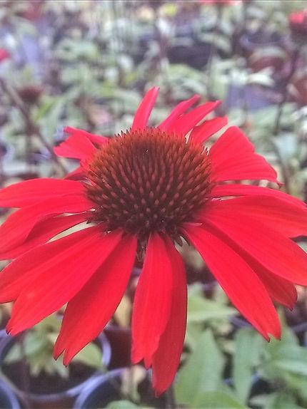 Echinacea 'SunSeekers Orange'.jpg