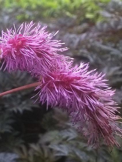 Sanguisorba hakusanensis.jpg