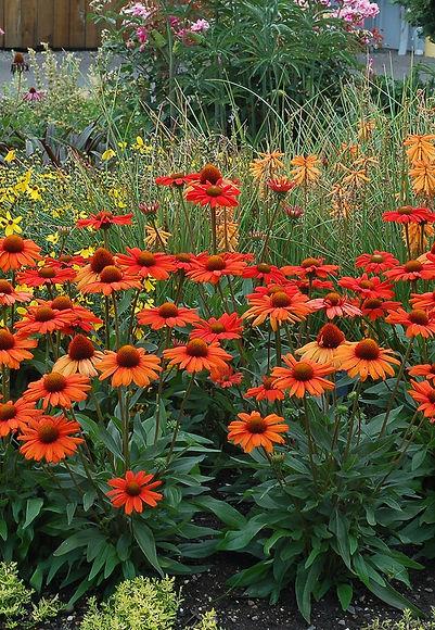 Echinacea Kismet® Intense Orange.jpg