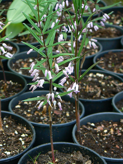 Poligonatum curvistilum.JPG