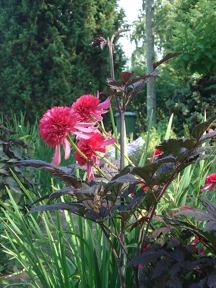 Echinacea 'Southern Belle'.jpg