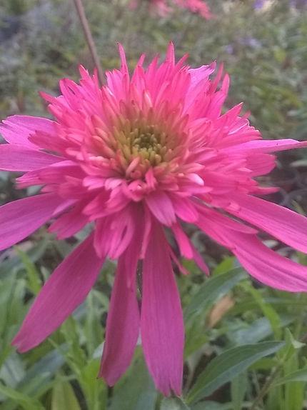Echinacea 'Mini Belle'.jpg