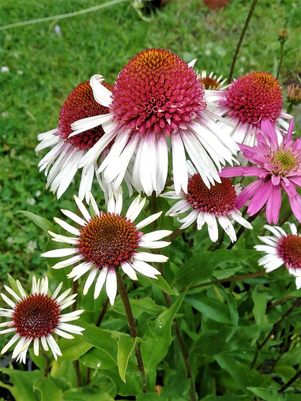 Echinacea 'Strawberry and Cream'.jpg