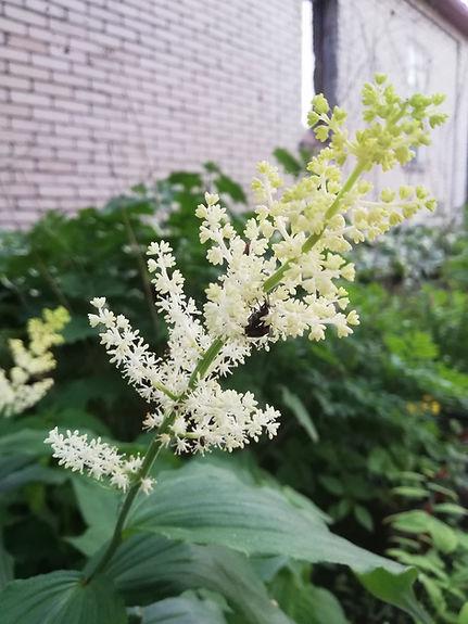 Maianthemum japonicum.jpg